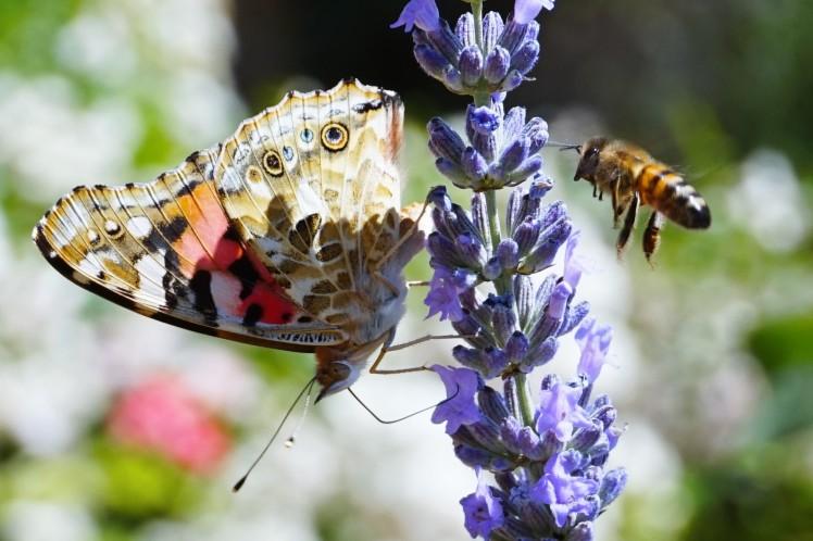 butterfly_bee_2