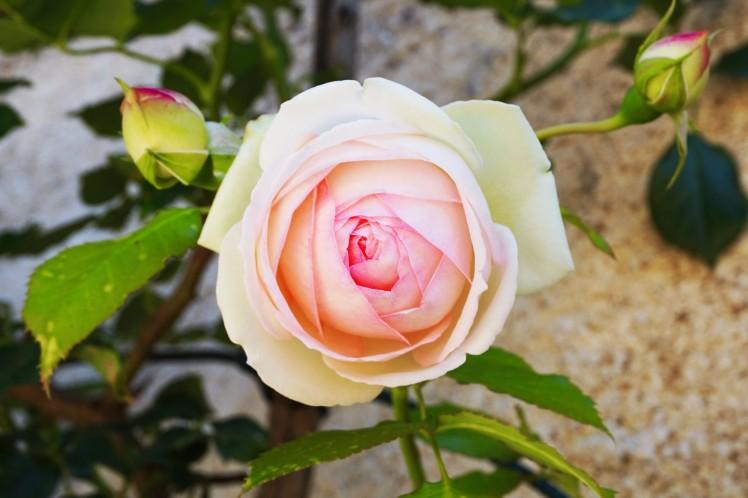 rose_bis