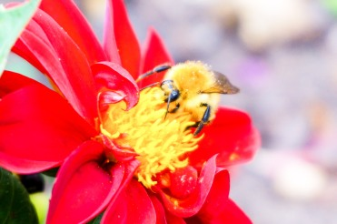 bee snacking on red dahlia